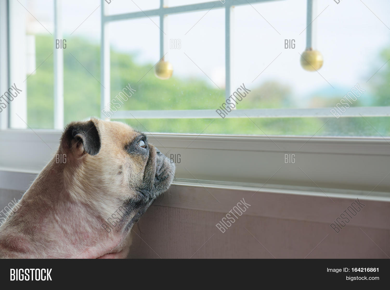 close face cute pug puppy dog image u0026 photo bigstock