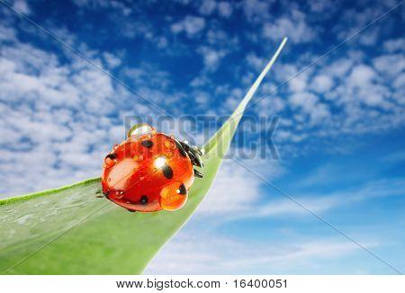 Ladybug on green leaf over blue sky background