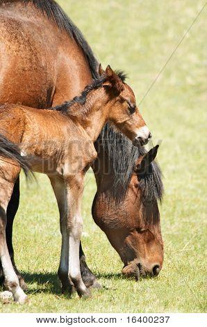 Grasende Pferde und neugeborene Fohlen