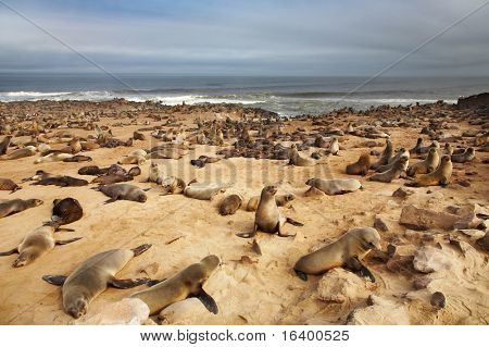 Colony of seals, Atlantic coast, Namibia