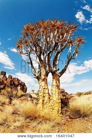 Quiver trees (Aloe dichotoma), Namibia
