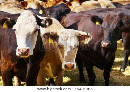 Explotación ganadera, rebaño de vacas
