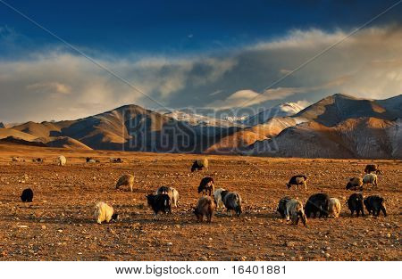 Tibetan landscape with grazing sheep and goats