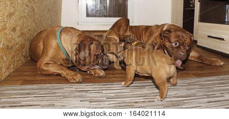 Dogue De Bordeaux - Three Generations