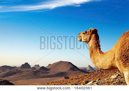 Camello en el desierto del Sahara, montañas de Hoggar, Argelia