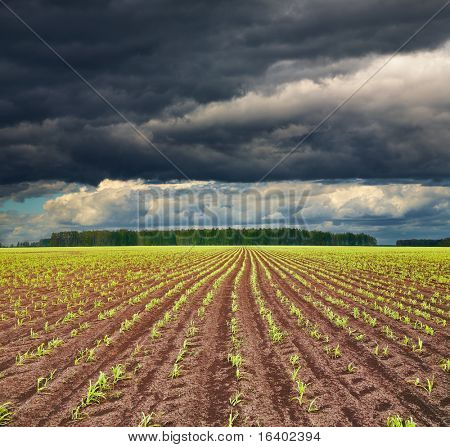 View of field with sprouting crops and storm clouds