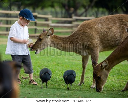 Little boy feeding deers in farm