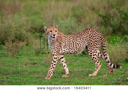 Beautiful cheetah in Southern Serengeti, Tanzania