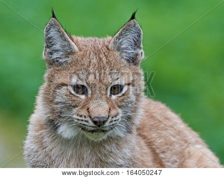 Closeup portrait of a juvenile Eurasian lynx with vegetaion in the background