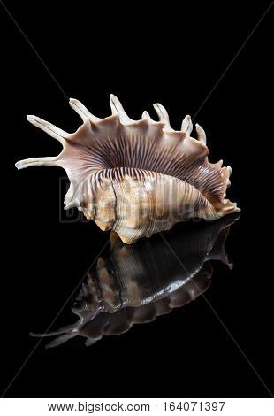 Close-up Shell With Reflection On Black Background.
