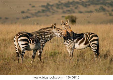 Cape Berg zebras