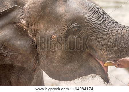Head of Asian eating elephant in Pinnawala, Sri Lanka