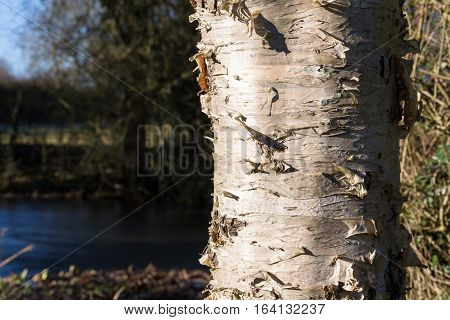 Birch Tree Trunk On Sunny Winter Day With Pond Background