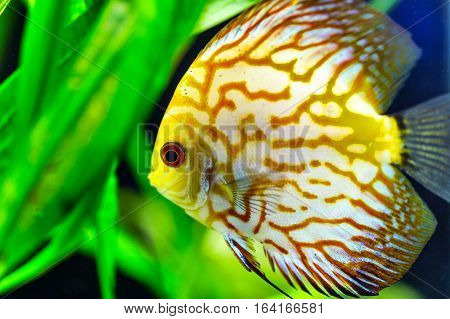 One yellow Gold discus tropical sea fish