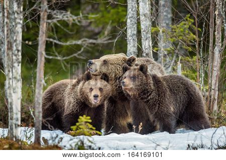 She-bear And Bear-cubs. Adult Female Of Brown Bear (ursus Arctos) With Cubs On The Snow In Spring Fo