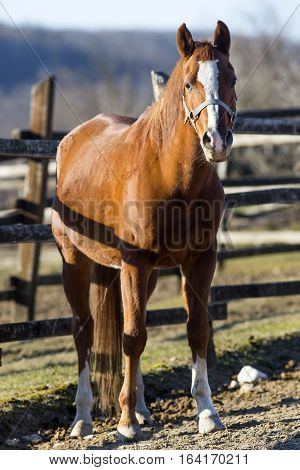 Peaceful Stallion Stands In Winter Corral