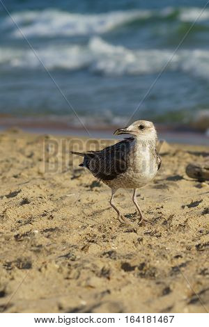 Seagull (lat. Larus silver) on the beach. Vertical