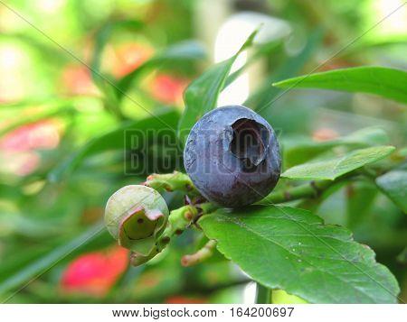 Blueberry berry fruit ripening in the garden