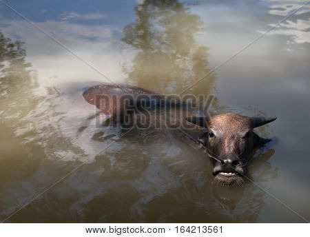COLOR PHOTO OF WATER BUFFALO WALLOWING IN WATER