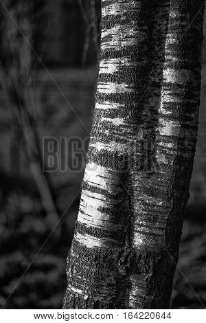 Black and white study of silver birch tree betual pendula
