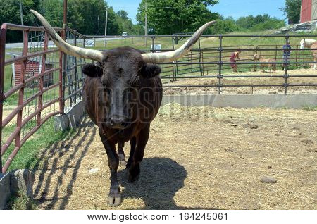 Big black bull makes eye contact with photographer.