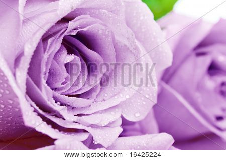 Purple rosebuds