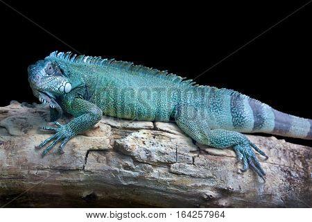Blue dragon - Close-up portrait of a resting blue colored male Green iguana (Iguana iguana) isolated on black.