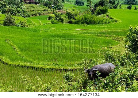 Green rice fields with a wallowing water buffalo