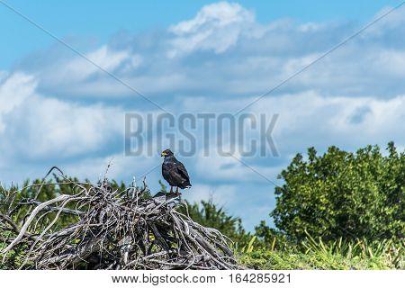 Hawk free falcon wildlife bird in mexico yucatan 2