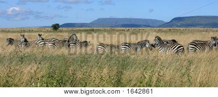 Zebra Herd Serengeti Tanzania