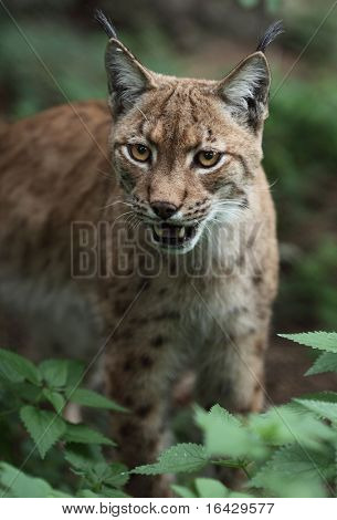 Close-up portrait of an Eurasian Lynx (Lynx lynx)