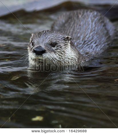 Otter - süß und schlau Europäische Säugetier