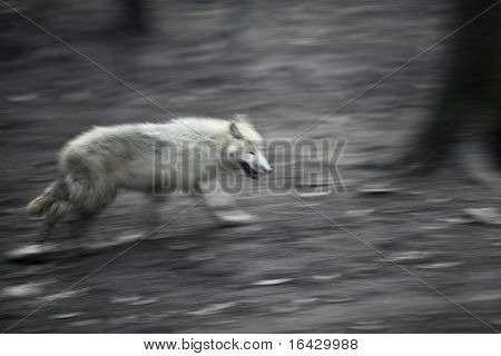 Arctic Wolf (Canis lupus arctos) aka Polar Wolf or White Wolf - panned image of this beautiful predator moving through woods