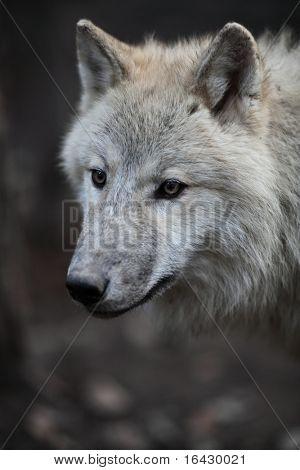 Lobo Ártico (Canis lupus arctos) alias Lobo Polar o lobo blanco - Retrato de primer plano de esta hermosa