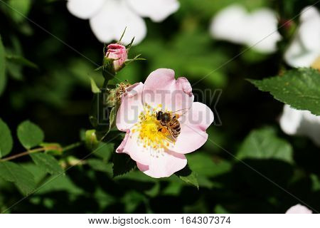 spring (summer) rose flower and bee. Bee on a flower. Bee on a flower of a pink flower