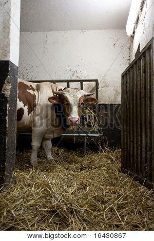 Cow in a cowshed looking at you