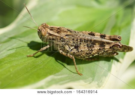 Brown locust (lat. Acrididae) on a green leaf