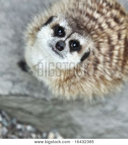 Funny and cute suricate (meerkat) looking up, at you