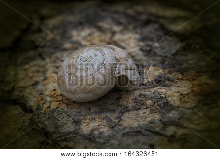 spiral snail shell on wooden surface background Empty snail shell.