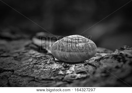 spiral snail shell on wooden surface background Empty snail shell.(black and white picture)