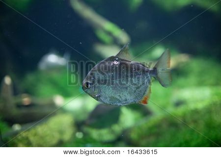 Dangerous Red-breasted Piranha (Serrasalmus Nattereri)