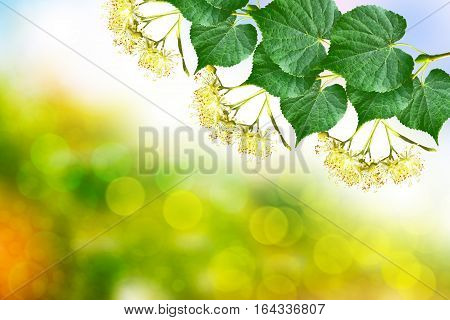 Sprig of flowering linden tree on the background of the spring landscape.