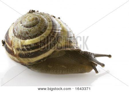 Spiraled Snail
