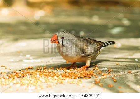 The female Zebra finches (lat. Taeniopygia guttata) is a bird of the family of finches weaverbirds