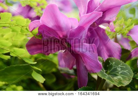 incredibly beautiful  glorious magnificent big cyclamen violet shade