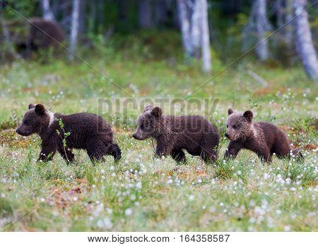 Three beautiful brown bear cubs walking in the Finnish taiga