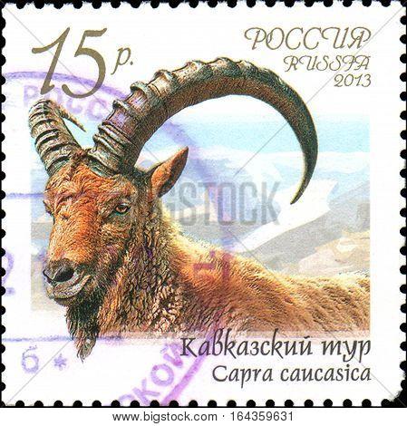 RUSSIA - CIRCA 2013: Postage stamp printed in Russia shows Caucasian tur (Capra caucasica), series Fauna of Russia. Wild goats and rams