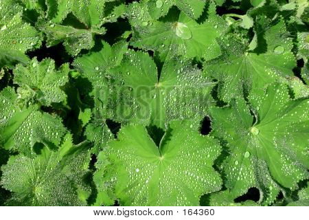 Alchemilla, The Medicinal Herb, Ladies Mantle