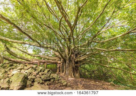 a huge banyan tree in Haleakala national park near Hana Maui