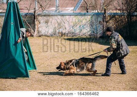 poster of Gomel, Belarus - March 27, 2016: German shepherd dog training. Biting dog. Alsatian Wolf Dog. Deutscher, dog